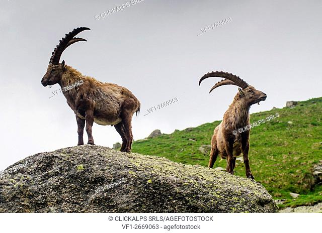 A couple of bouquetin. (Orco valley, Gran Paradiso National Park, Piedmont, Italy)