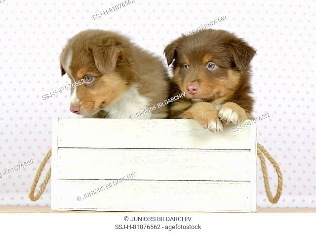 Australian Shepherd. Two puppies (8 weeks old) sitting in a white box. Studio picture. Germany
