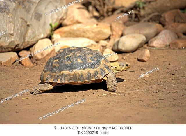 South African Bowsprit Tortoise or Angulate Tortoise (Chersina angulata), adult, Addo Elephant National Park, Eastern Cape, South Africa