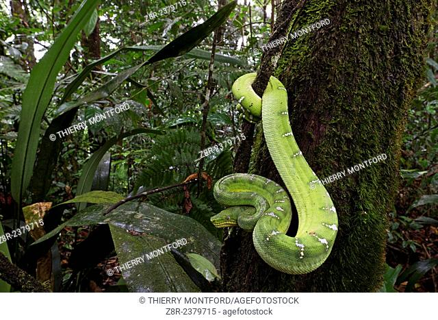 Corallus caninus. Medium sized boa, stocky and massive head, the emerald tree boa is mostly found at dusk or at night, when he hunts birds, rodents and bats