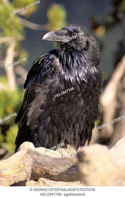 Raven (Corvus corax), Yellowstone National Park, Wyoming