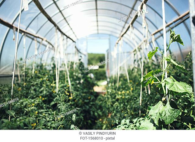 Vegetable plants growing in greenhouse