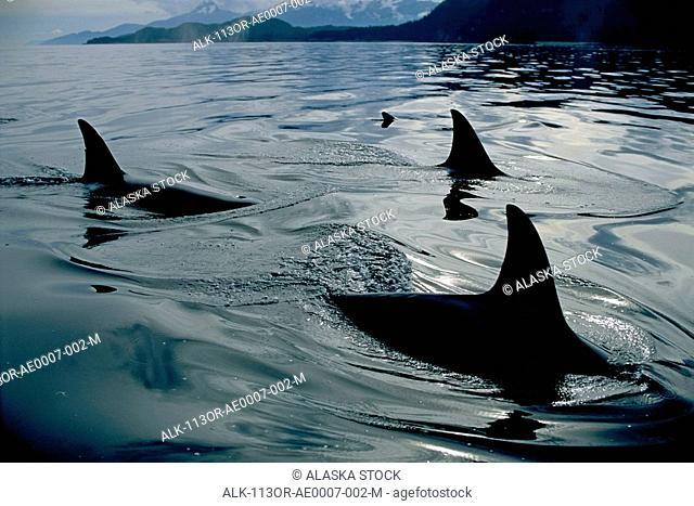 Close Up of Orca Family Inside Passage SE AK Summer