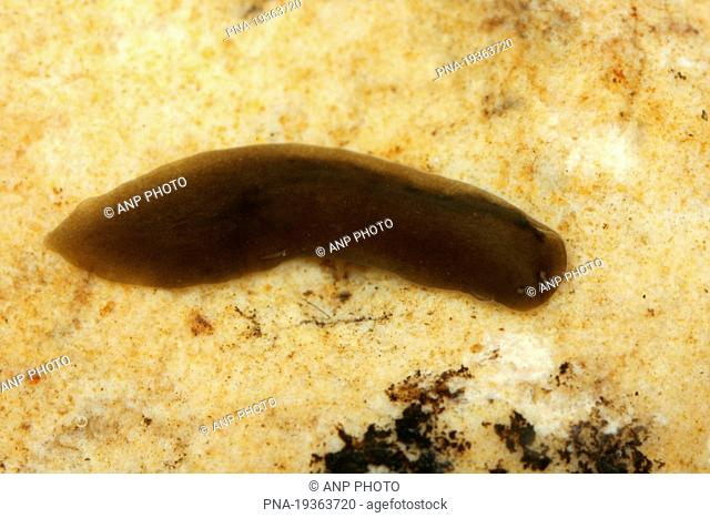 Flatworm Planthelminthes sp - Gronsveld, Limburg, The Netherlands, Holland, Europe