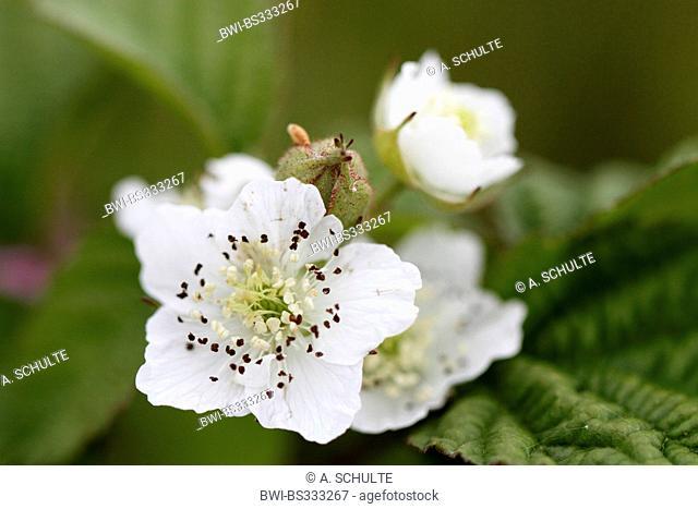 shrubby blackberry (Rubus fruticosus), Blackberry blossom, Germany, Bavaria