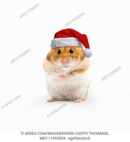 Golden hamster wearing Christmas hat