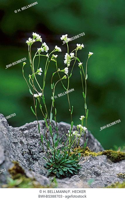 Kernera (Kernera saxatilis), blooming on a rock, Germany