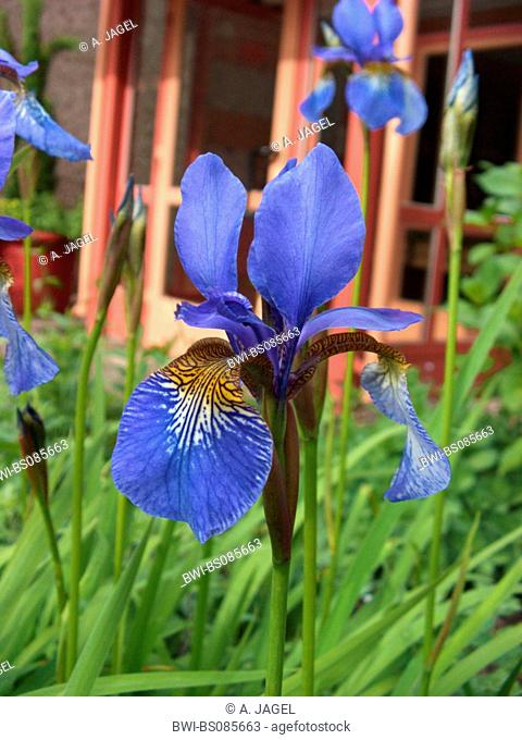 Siberian Iris, Siberian flag (Iris sibirica), blooming in a front garden, Germany