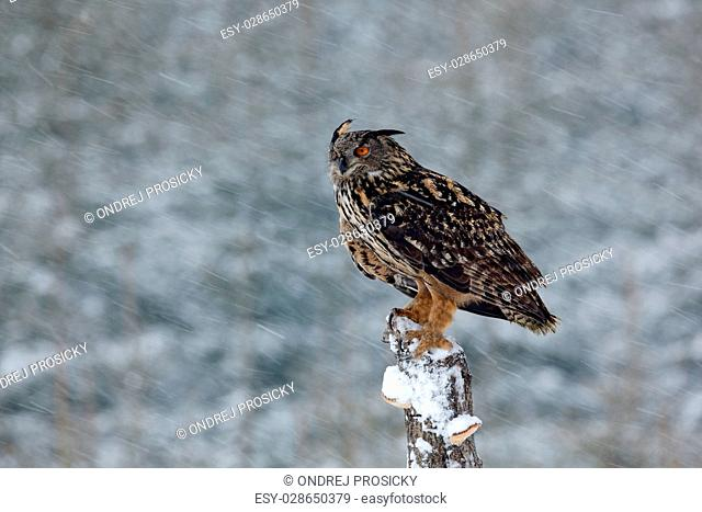 Big Eurasian Eagle Owl with snowy stump with snow flake during winter