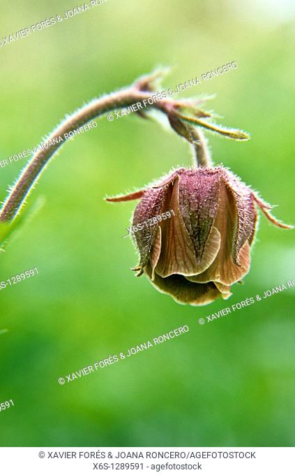 Water Avens - Geum rivale -
