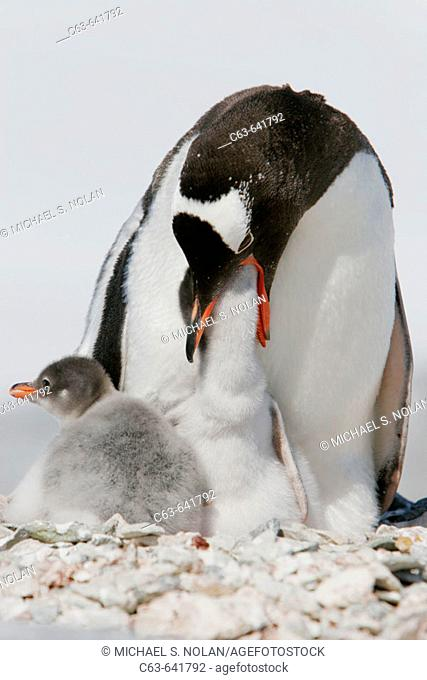 Gentoo penguin (Pygoscelis papua) adults and chicks in their breeding and nesting colonies in and around the Antarctic Peninsula