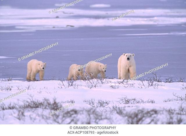 Polar bear mother with three cubs (unusual), Ursus maritimus, walk along shoreline near Churchill, Manitoba, Canada