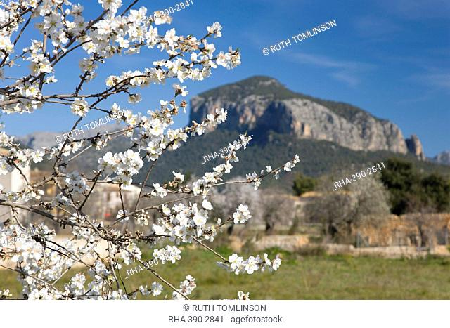 Almond tree Prunus dulcis in bloom and the Puig de S'Alcadena beyond, Alaro, Mallorca, Balearic Islands, Spain, Europe