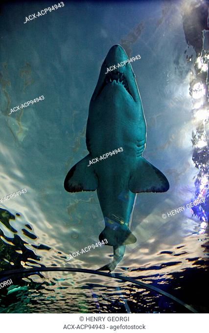 Shark swims by in Dangerous Lagoon at Riply's Aqarium of Canada at base of CN Tower, Toronto, Canada