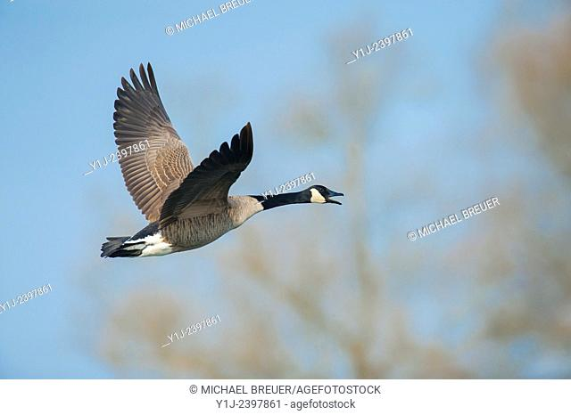 Canada goose in Flight (Branta canadensis), Hesse, Germany, Europe