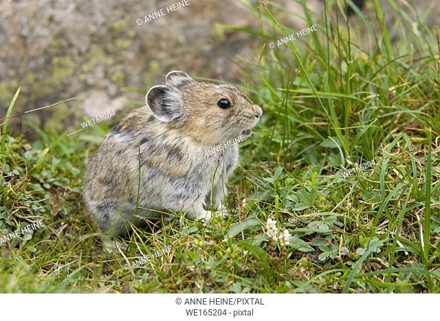 American pika (Ochotona princeps) sitting in the grass. Kananaskis Country, Peter Lougheed Provincial Park along Highway 40, Alberta, Canada