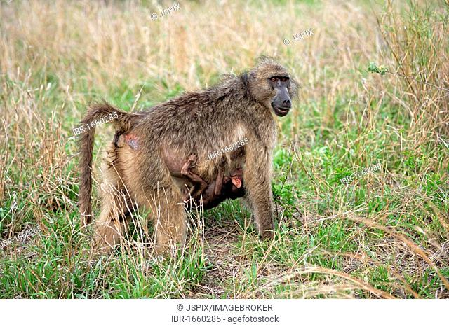 Chacma Baboon (Papio ursinus), adult, female with young hanging on her stomach, Kruger National Park, South Africa, Africa