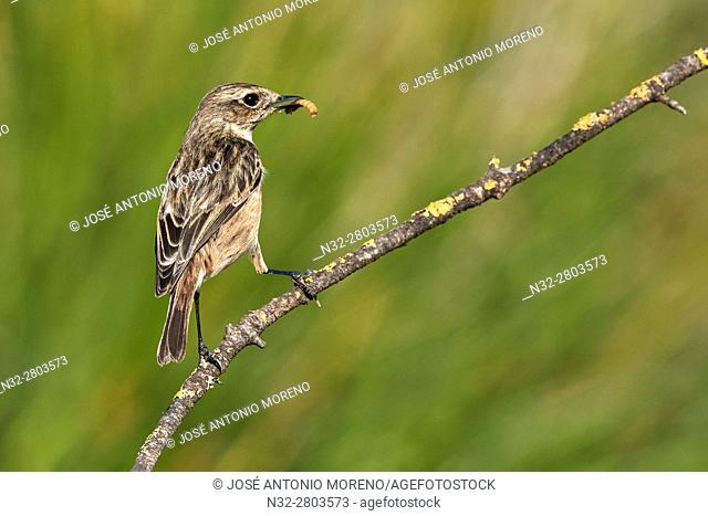 Stonechat (Saxicola torquata) adult female. Malaga, Andalusia, Spain
