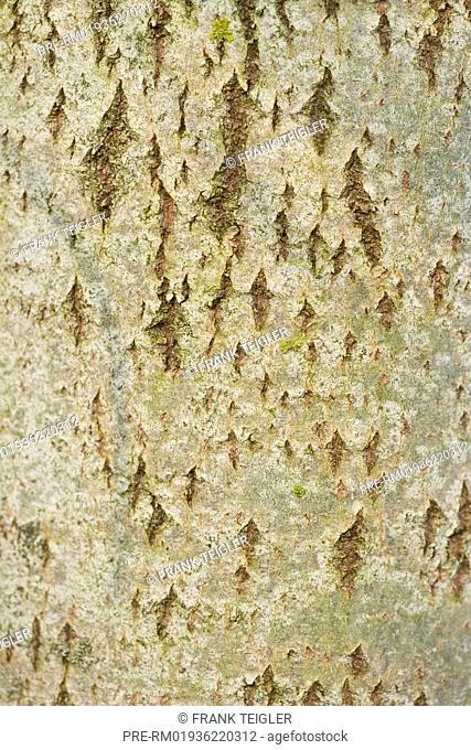Aspen, Populus tremula / Espe, Populus tremula