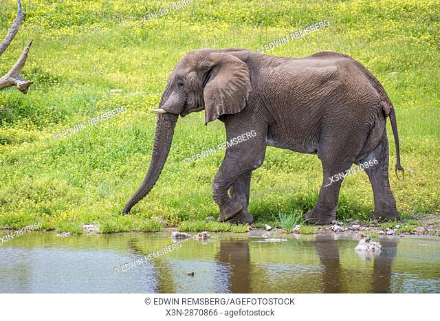 An elephant is walking next to a watering hole at Etosha National Park, located in Namibia, Africa