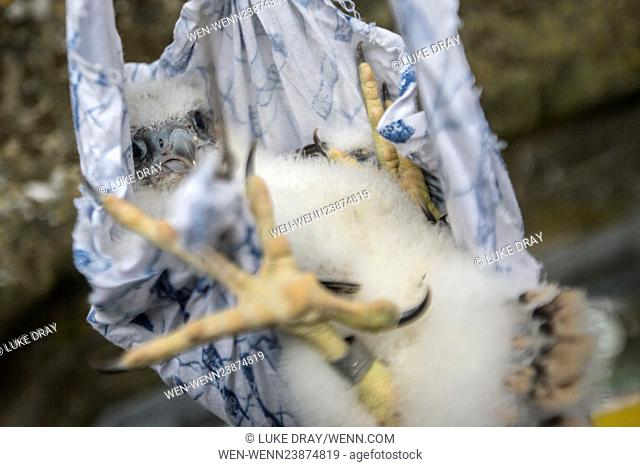 Peregrine Falcon chicks being ringed by a licensed bird ringer at Chichester Cathedral, West Sussex. Peregrines have been breeding at Chichester Cathedral since...