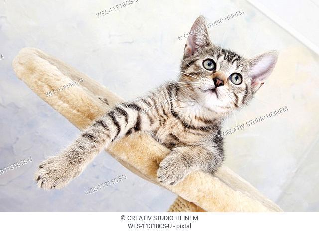 Domestic cat, kitten lying on cat tree