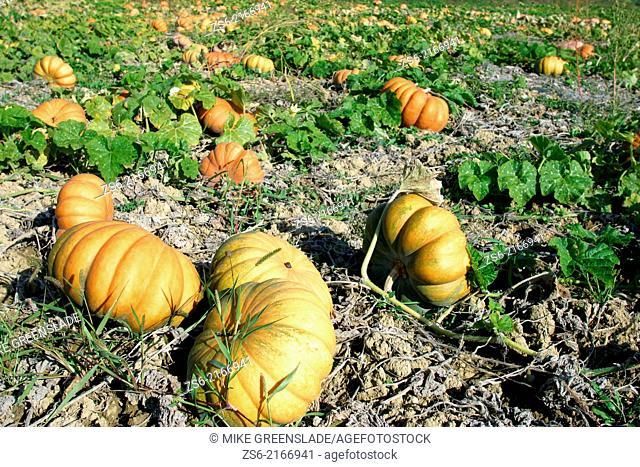 Field of pumpkins, Provence, France