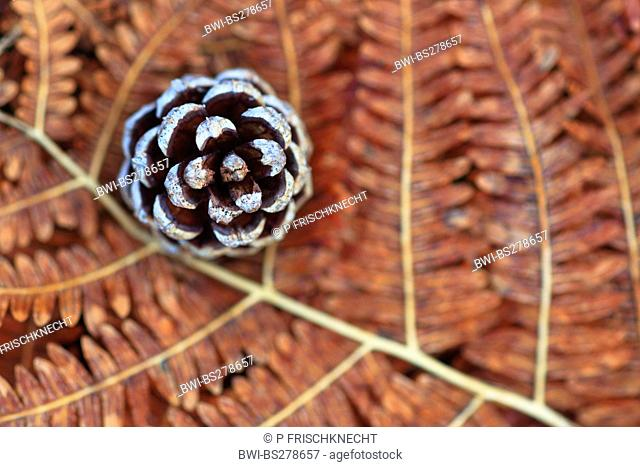 Scotch pine, scots pine Pinus sylvestris, pine cone lying on a dry frond, United Kingdom, Scotland, Cairngorms National Park