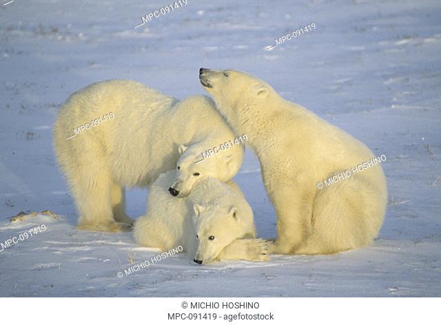 POLAR BEAR, (Ursus maritimus) TRIO, CHURCHILL, MANITOBA, CANADA