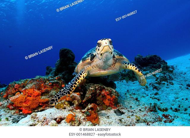 Hawksbill Turtle Eretmochelys imbricata in Cozumel Mexico