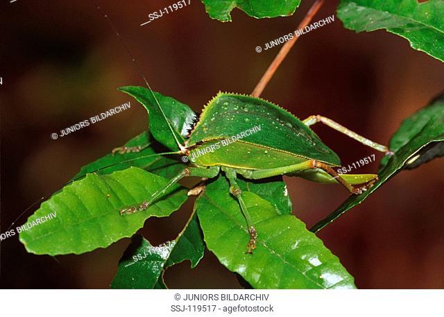 Tettigoniidae spec