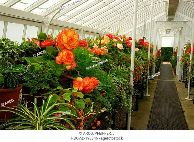 Greenhouse with Begonias, West Dean Garden, West Sussex, England, Begonia hybride, Begoniaceae