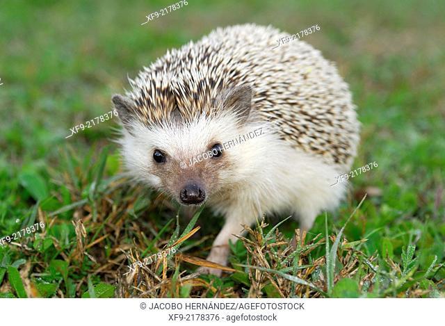 Algerian Hedgehog.Atelerix algirus