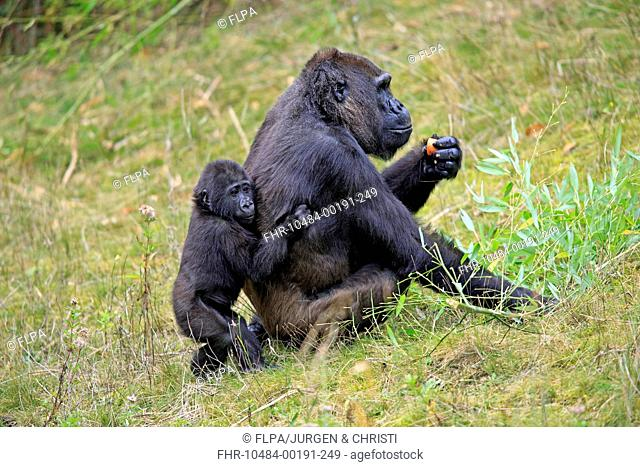 Western Lowland Gorilla (Gorilla gorilla gorilla) adult female with young (captive)