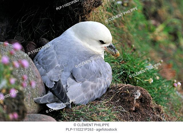 Northern Fulmar / Arctic Fulmar Fulmarus glacialis on nest in cliff face in the Fowlsheugh nature reserve, Scotland, UK