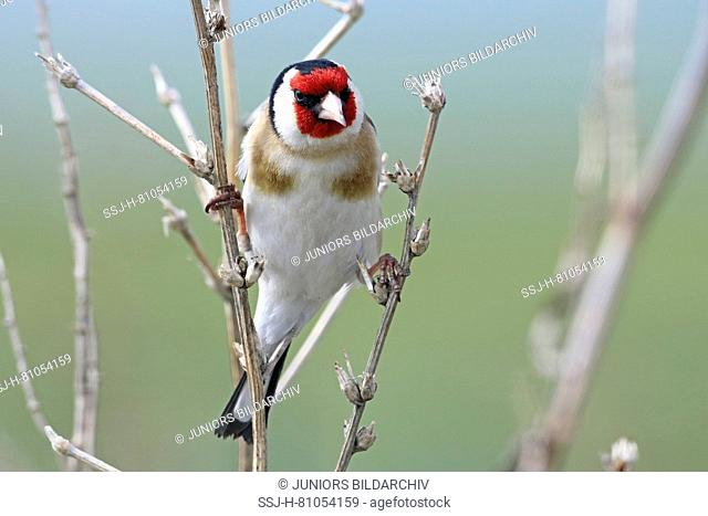 Goldfinch (Carduelis carduelis). Adult single bird clinging to dry stalks. Lesser Caucasus, Georgia