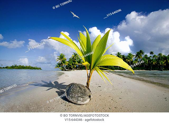 Coconut begin to grow. Tuamotu archipelago. French Polynesia