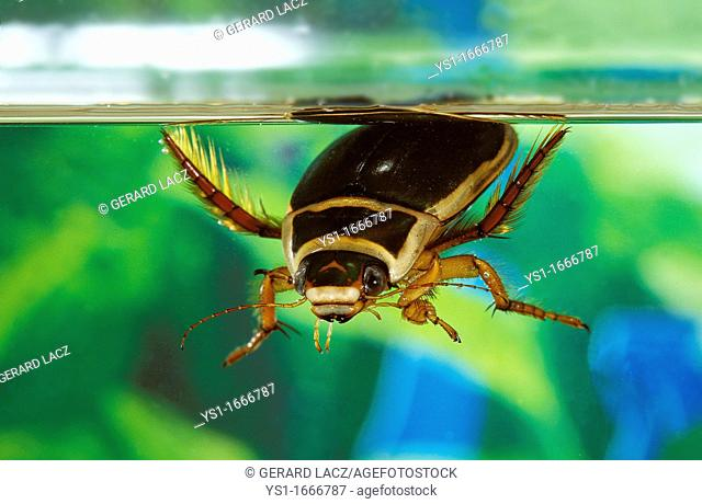 Great Diving Beetle, dytiscus marginalis, Adult standing in a Pond, Normandy