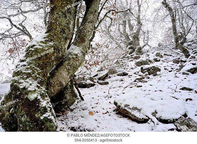 La Pedrosa beech wood snowy in la Quesera mountain pass, Riaza, Segovia, Spain