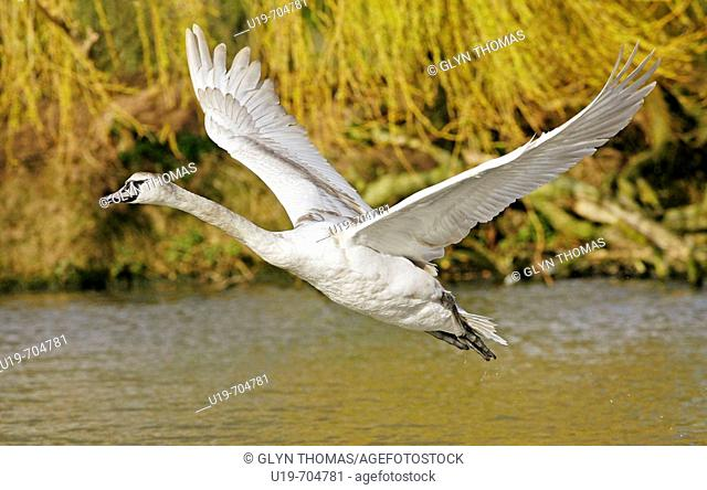 Mute swan (Cygnus olor) cygnet