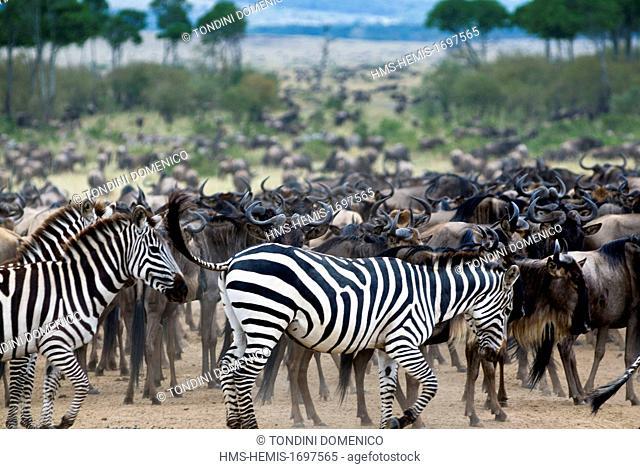 Kenya, Masai Mara National Reserve, herd of wildebeest (Connochaetes taurinus) and Common zebra (Burchelliis zebra) (Equus burchelli)
