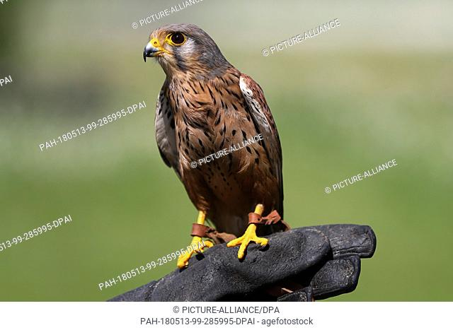 11 May 2018, Germany, Wuerzburg: Common kestrel Philipp sits on the hand of falconer Kant. Kant saves injured birds of prey together with her husband