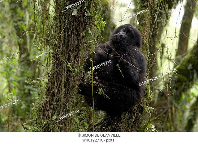Mountain Gorilla Gorilla gorilla beringei, Virunga National Park, Rwanda
