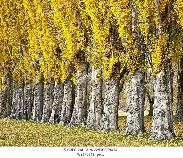 Poplar Trees, Columbia Hills State Park at Horsethief Lake Campground, Columbia River Gorge, Washington