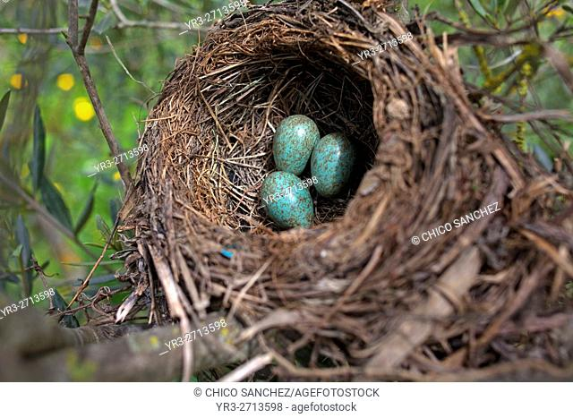 Blackbird eggs in a nest in an organic olive orchard in Prado del Rey, Cadiz, Andalusia, Spain. Production vegetables and fruit without using herbicides
