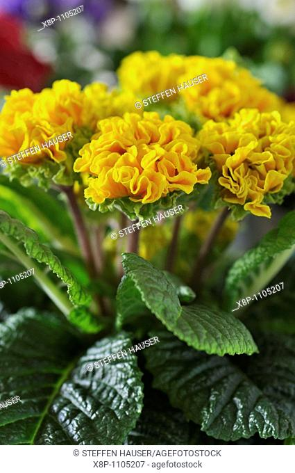 Primrose Primula vulgaris 'Suzette' syn  Primula acaulis 'Suzette'