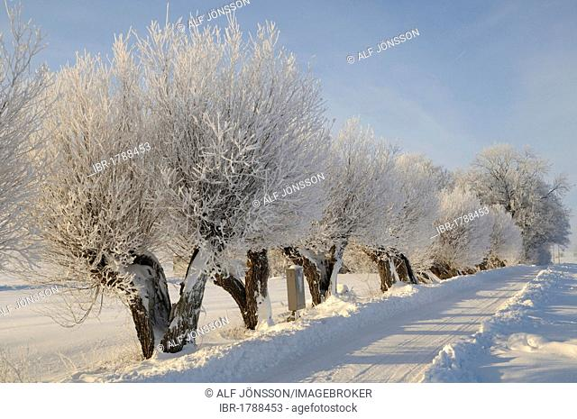 Willow trees with white frost, typical south-Swedish tree-lined road, Tånebro, Skåne, Sweden, Europe