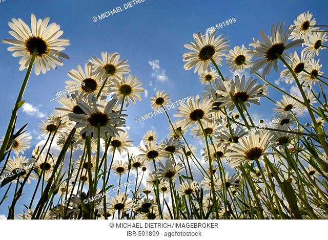 Meadow of Oxeye Daisies (Leucanthemum vulgare) from worm`s eye view