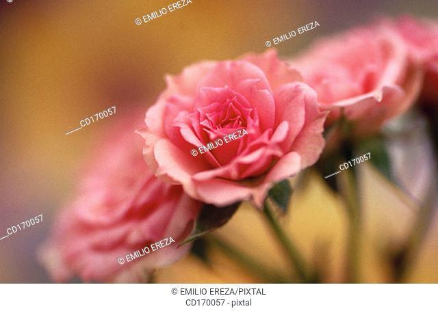 Miniature rose (Rosa hybr.)
