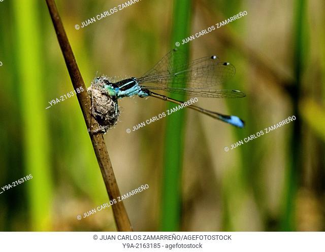 Nehalennia speciosa, Odonata, Zygoptera, Insecta, hunting, Tamames lagoon, Salamanca, Castilla y Leon, Spain